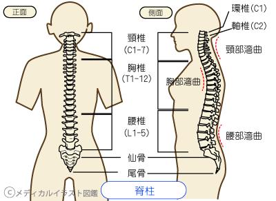 脊椎の名称図